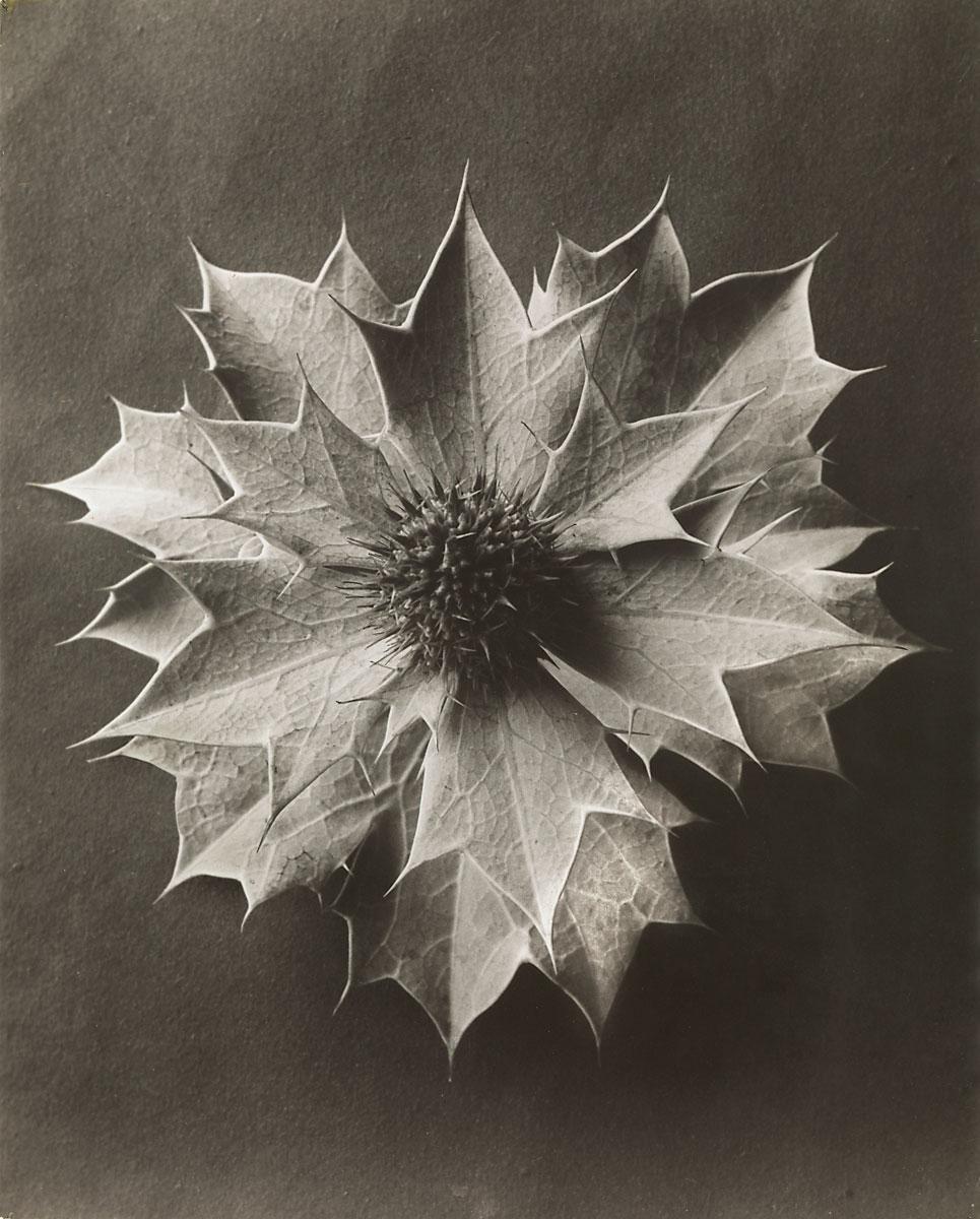 Karl Blossfeldt, Eryngium maritimum/Stranddistel, 4-malvergrößert, 1915−1925, 29,5×23,7 cm; Pinakothek der Moderne, München