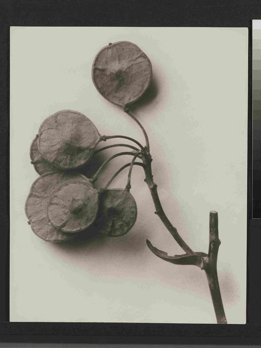 Karl Blossfeldt, Ptelea trifoliata / Kleeulme, 6 x vergr. 1915-1925, 29,8 x 23,8 cm; Pinakothek der Moderne München