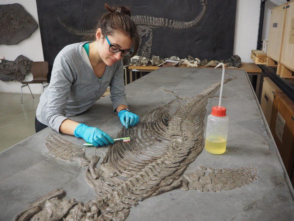 Der Fischsaurier Stenopterygius triscissus wird oberflächlich mit Aceton gereinigt © SMNS, Marit Kamenz