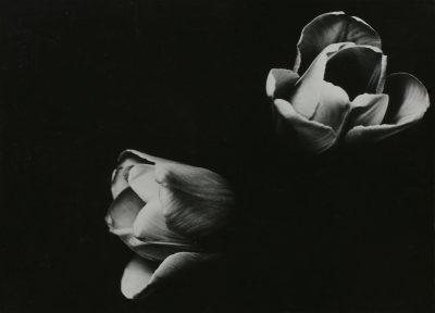 Aenne Biermann, Tulpen, 1926/27, 17,0 x 23,2 cm, Museum für Angewandte Kunst Gera; © Museum für Angewandte Kunst Gera