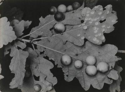 Aenne Biermann, Eichenblätter, 1927, 17,5 x 23,9 cm, Museum für Angewandte Kunst Gera; © Museum für Angewandte Kunst Gera